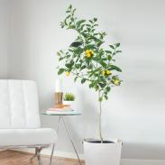 Meyer_Lemon_Tree_1_FGT_b30a3c52-586a-4bfe-b392-55bacec9d5b5_large